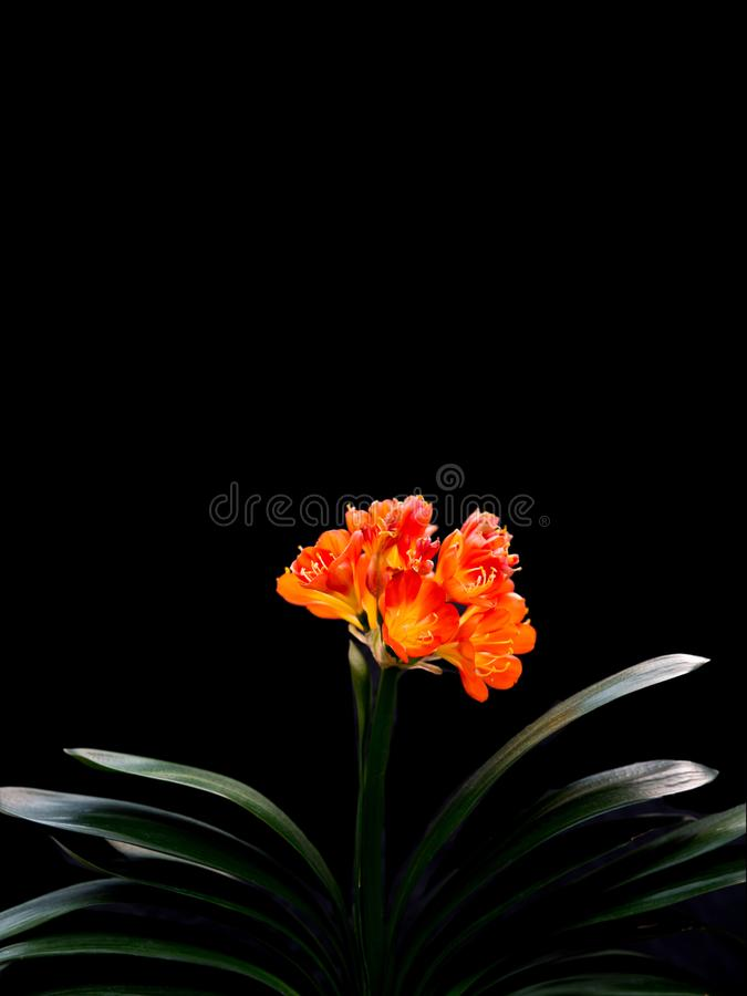 Free Clivia Miniata, Flower Wallpaper Royalty Free Stock Images - 103366719