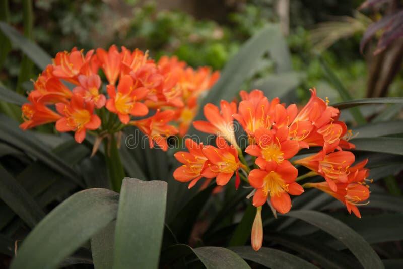 Clivia miniata orange stock photography