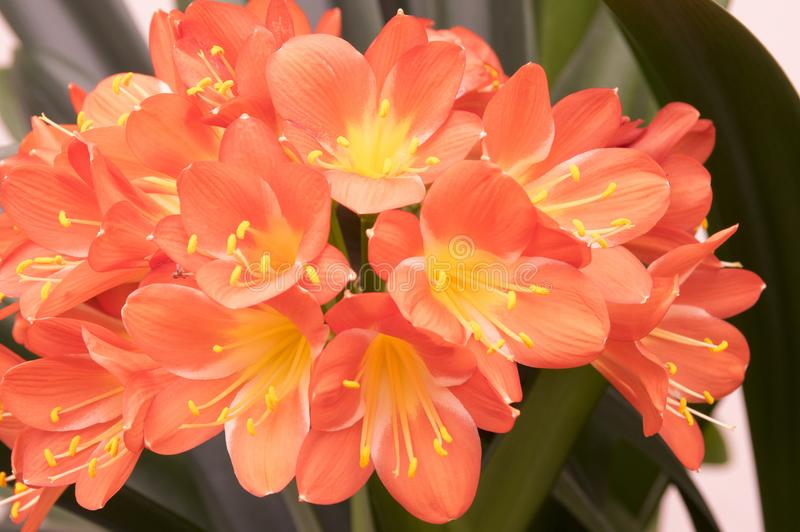 Clivia miniata orange ornamental tropical flower, bunch of flowers stock photography