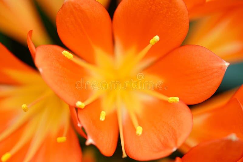 Clivia-miniata Orangenblumen stockfotos