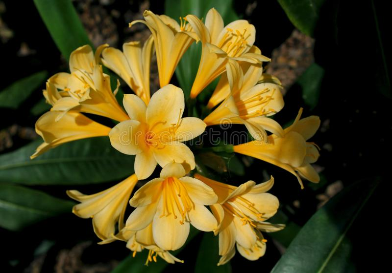 Clivia miniata, 'San Marcos Yellow ', arkivbilder
