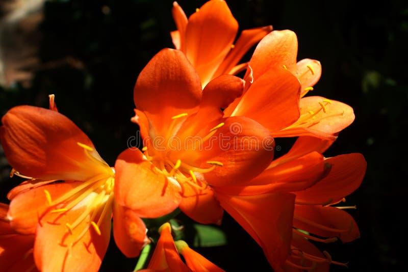 Clivia orange à Pretoria, Afrique du Sud images libres de droits