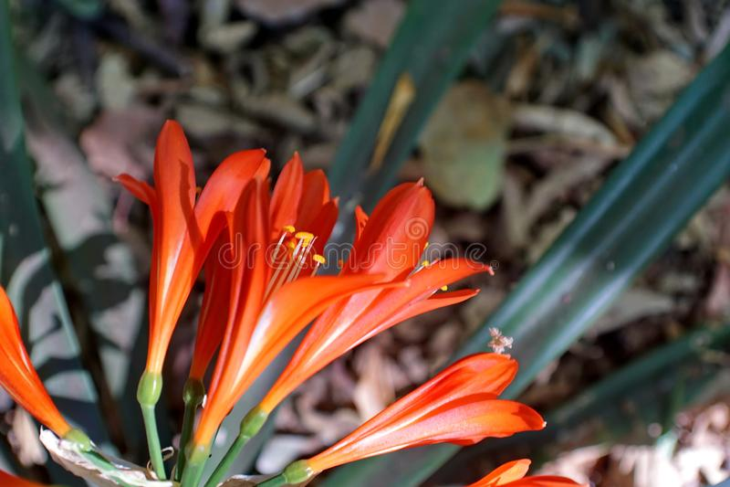 Clivia orange à Pretoria, Afrique du Sud photo libre de droits