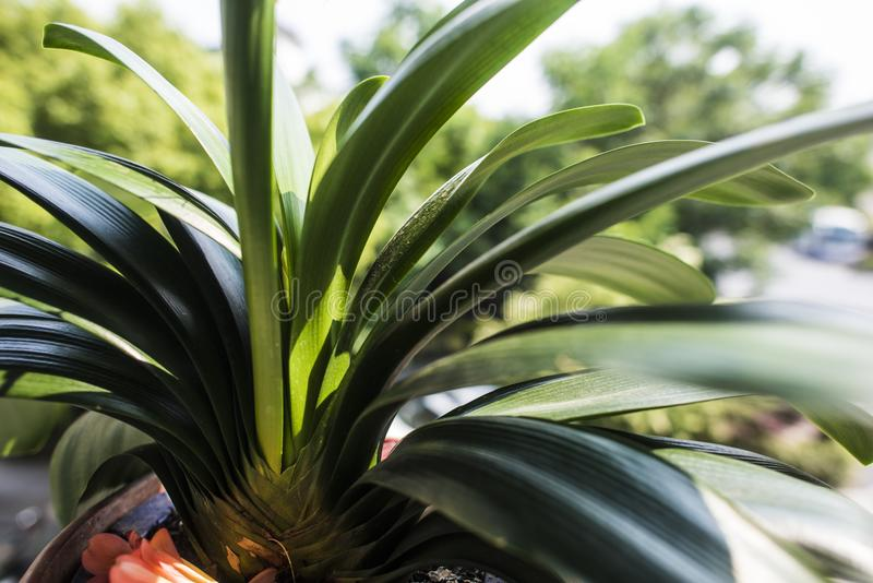 Clivia stock photography