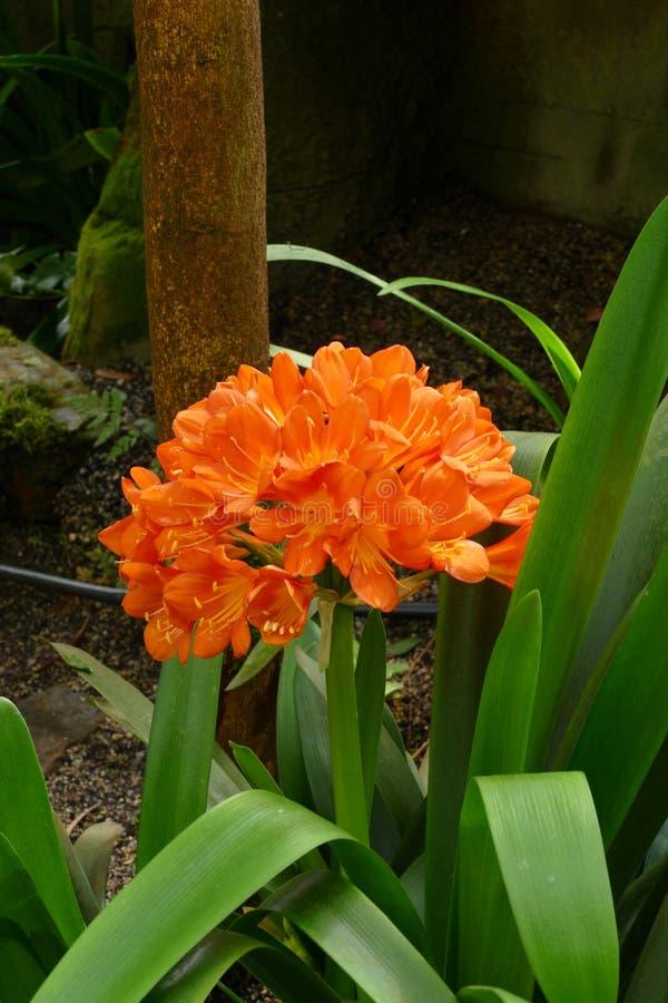 Clivia rouge orange gentil images libres de droits