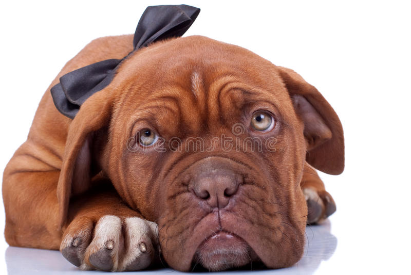 Cloaseup de um mastiff francês foto de stock