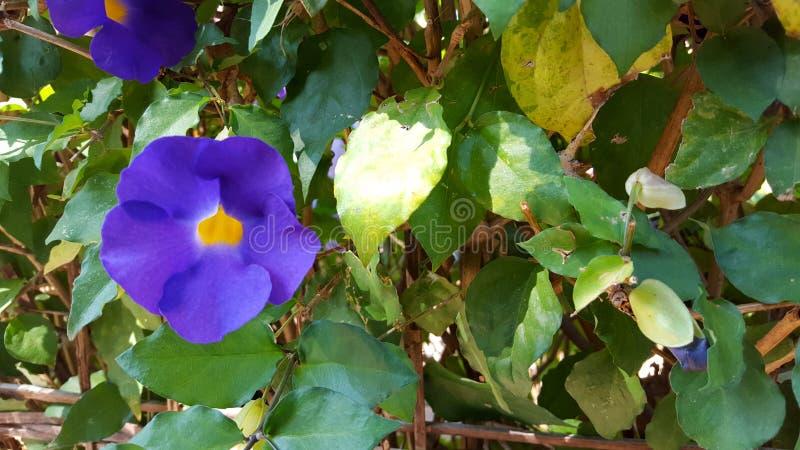 Clockvine Бенгалии, красивый пурпурный цветок Эти заводы получают распространение в Азии южной/юговостоке и континентальном Китае стоковая фотография
