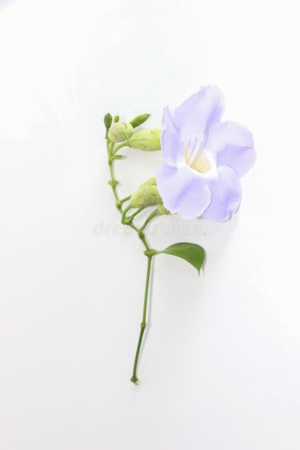 Clockvine de laurier, fin bleue de vigne de trumphet  photo stock