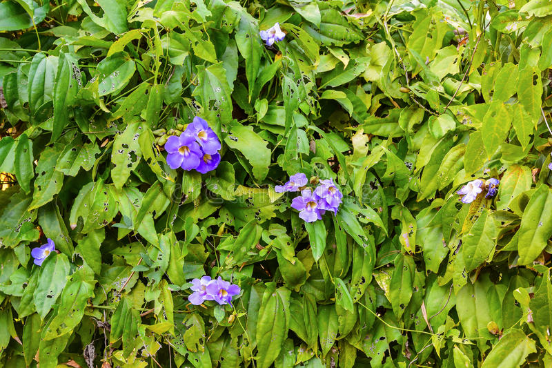 Clockvine, vigne bleue de Trumphet photo stock