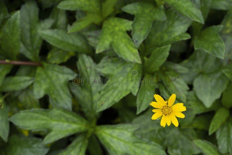 Cloes sul piccolo fiore giallo con la vista superiore del fondo verde della foglia fotografia stock