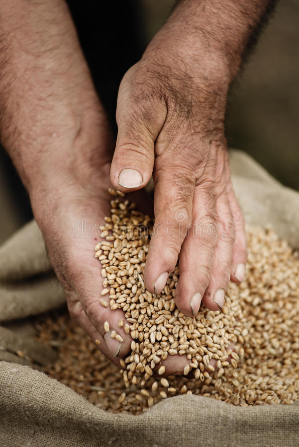 Cloes-up male hands holding grain of wheat stock photography