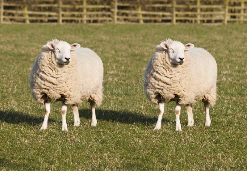 Clonage de moutons photos libres de droits
