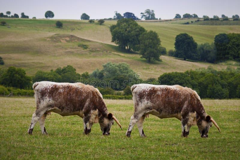 Clonage de vache photos stock