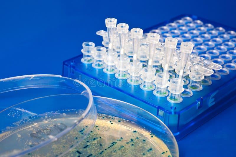 Clonage moléculaire utilisant Escherichia coli photos libres de droits