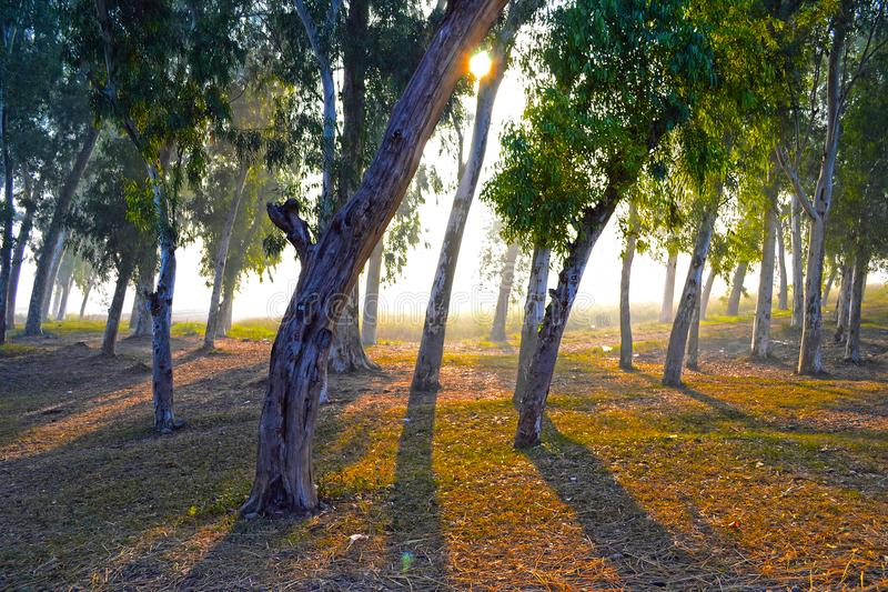 Clonal eucalyptus. Very Beautiful and natural view of Tree in the morning and their shadows in different angles royalty free stock image