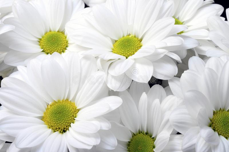 White daisy flower bouquet stock photo. Image of flower - 105944568