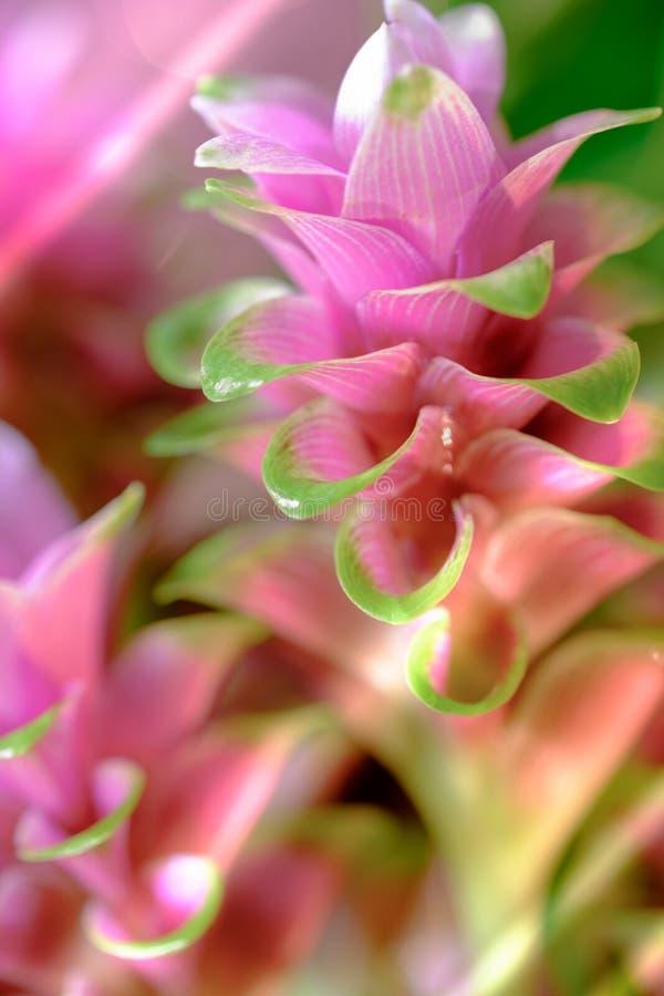 Clos-up pica a flor flowe dos sessilis cor-de-rosa de Siam Tulip ou da curcuma foto de stock