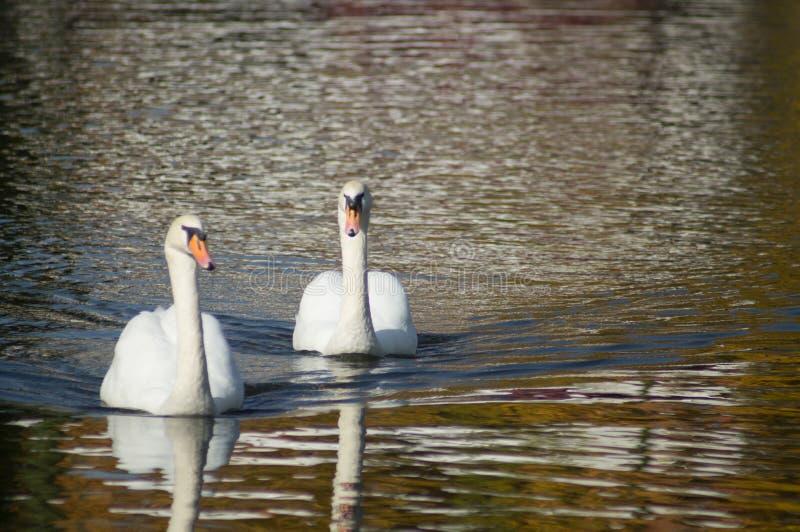 Close beautiful swan swimming in the lake royalty free stock photo