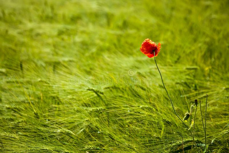 Close of of a wheat field and a single red poppy in summer royalty free stock photo