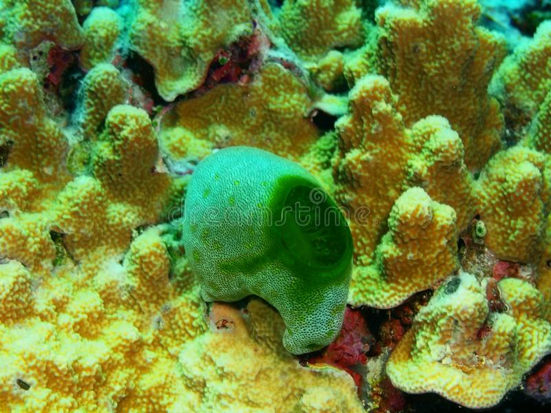 close coral indonesia soft sulawesi up 免版税库存照片
