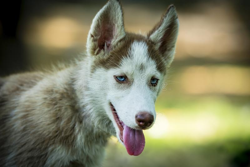 Closup of Beautiful Husky Puppy. Close of cute blue eyed siberian husky puppy curiously looking right side royalty free stock images