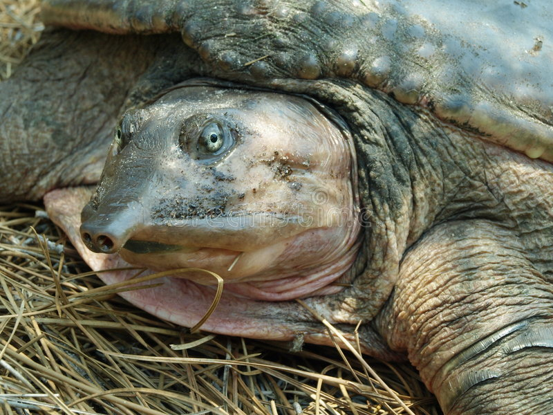 Close Florida Softshell turtle. Close up photo of a Florida softshell turtle royalty free stock photos