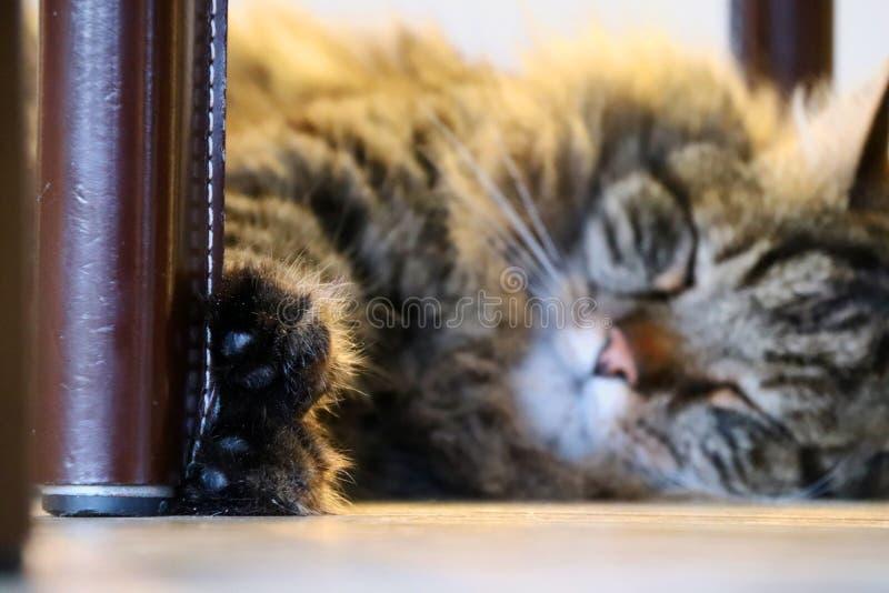 Norwegian forrest cat royalty free stock image