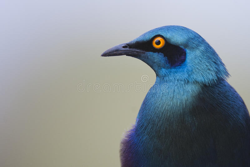 In close with a Glossy Starling. A head shot of a glossy Starling stock photo