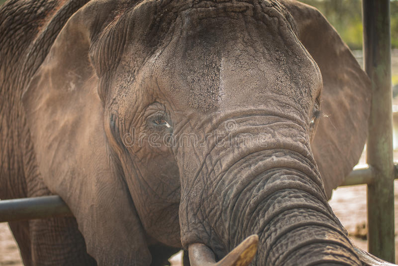 Close by the head of an elephant royalty free stock image