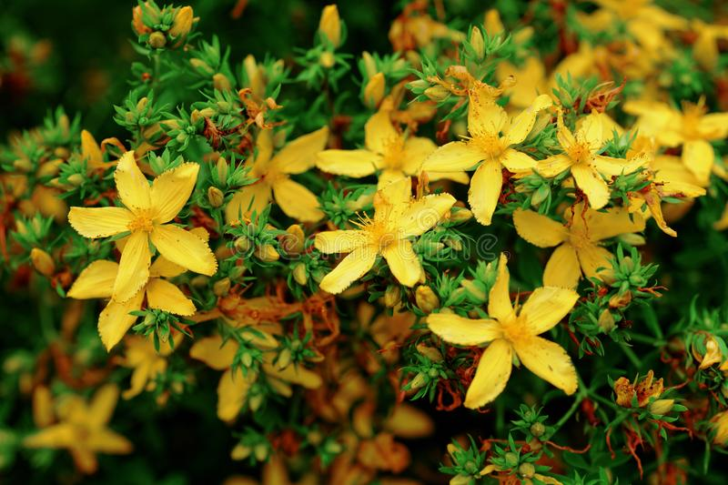 Close the Hypericum calycinum, St. Johns Wort plant growing in the garden stock image