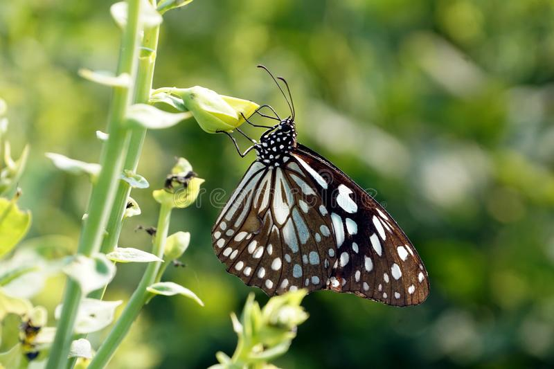 A close of image of common Indian crow Euploea core Butterfly. stock image