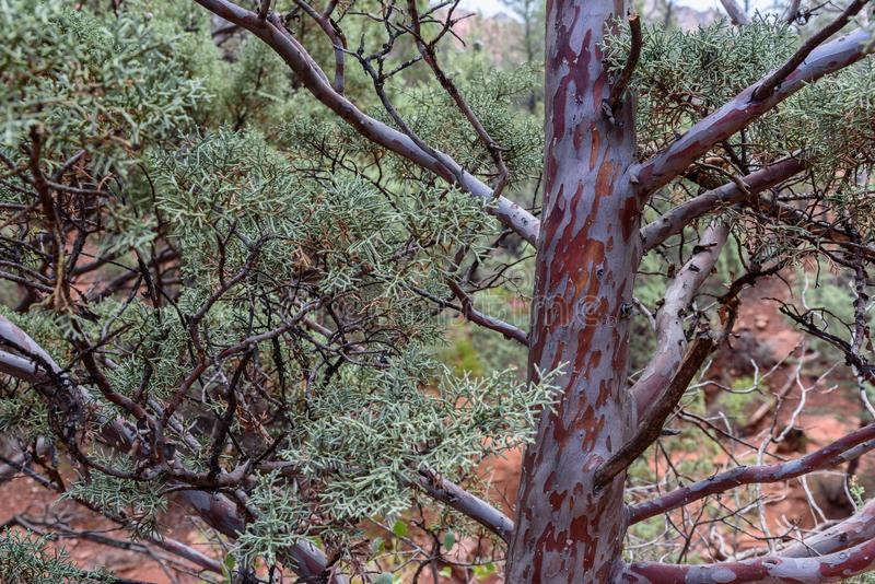 Juniper Tree Textures. A close image of a desert juniper tree with colorful peeling bark royalty free stock image