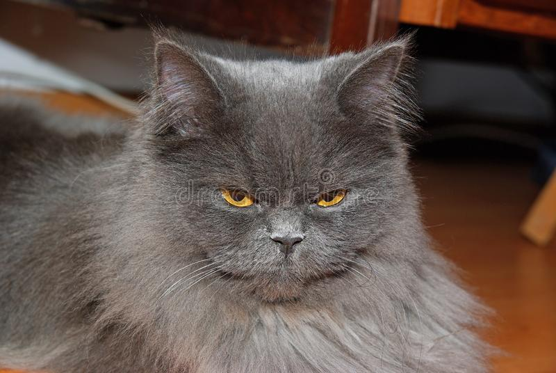 Gray cat with yellow eyes. Close image of persan cat with yellow eyes royalty free stock images