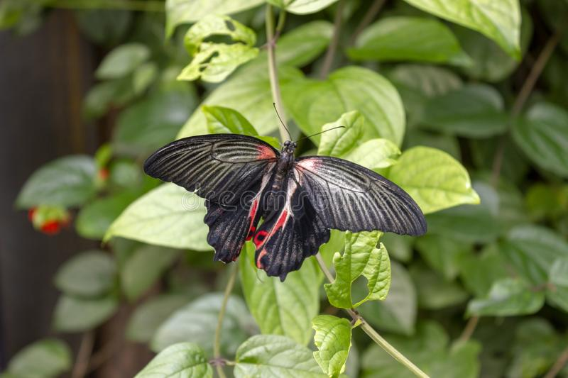 A close image of a Scarlet Mormon Butterfly. Scientific name Papilio rumanzovia. stock photography
