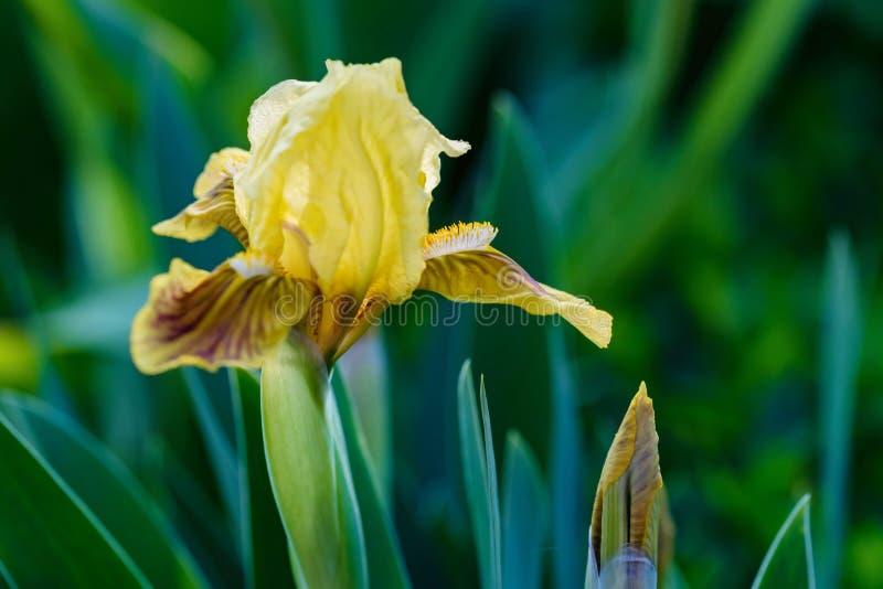Close up beautiful single yellow iris flower in garden stock photo