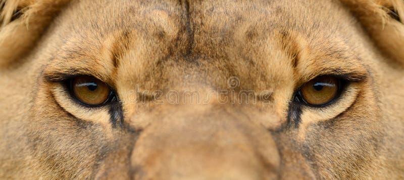 Close lion portrait stock photo