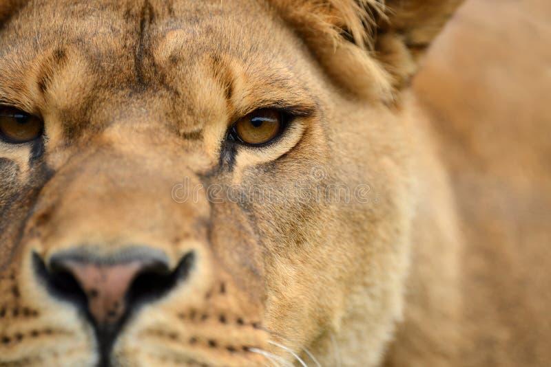 Close lion portrait royalty free stock photos