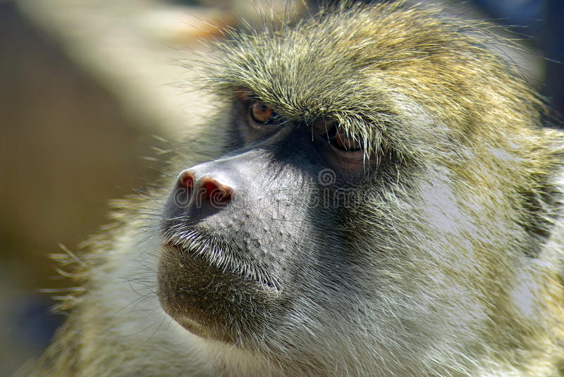 Portrait of baboon stock images