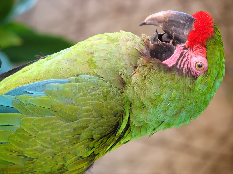 Free Close Macaw Royalty Free Stock Photo - 3076485