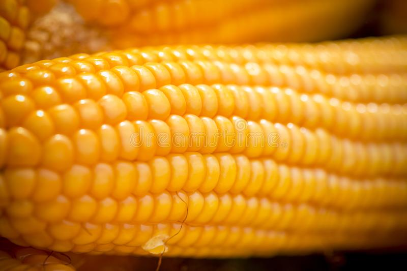 Close macro shoot of Maizebhutta crop, Thakurgaon, Bangladesh. Maize bhutta a CEREAL crop, Zea mays of the family Graminae, order Cyperales. In the Bangladesh stock photo