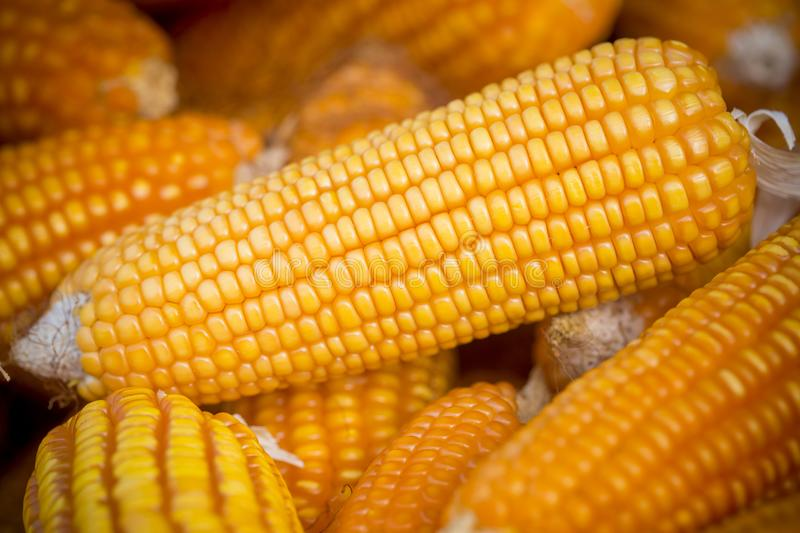 Close macro shoot of Maizebhutta crop, Thakurgaon, Bangladesh. Maize bhutta a CEREAL crop, Zea mays of the family Graminae, order Cyperales. In the Bangladesh royalty free stock photo