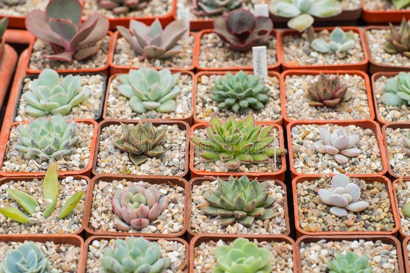 Many cactuses. Close of manny succelents and cactuses on the market table stock image