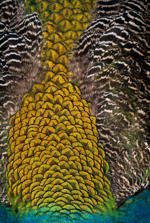 Close of Peacock Feathers (background) royalty free stock photos