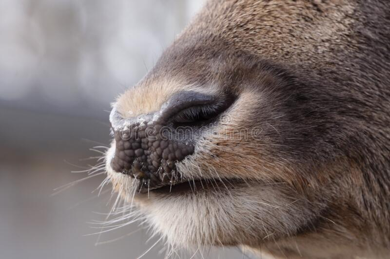 Close photo of a deer nose in sunny light. Beautiful, soft and w. Close photo of deer nose in sunny light. Beautiful, soft and wet nose of reindeer royalty free stock photography