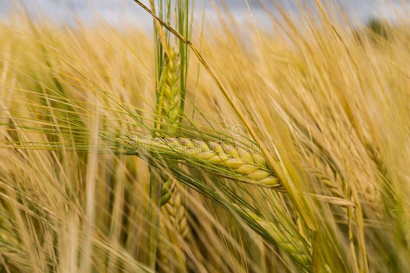 Close Photo Of Paddy Plant royalty free stock photography
