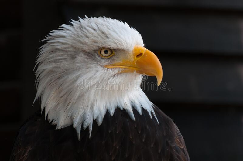 Close Photography of Bald Eagle royalty free stock images