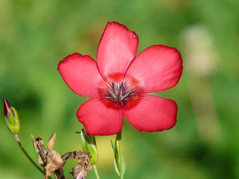 Close Photography of Red 5 Petaled Flower in Bloom during Daytime stock images