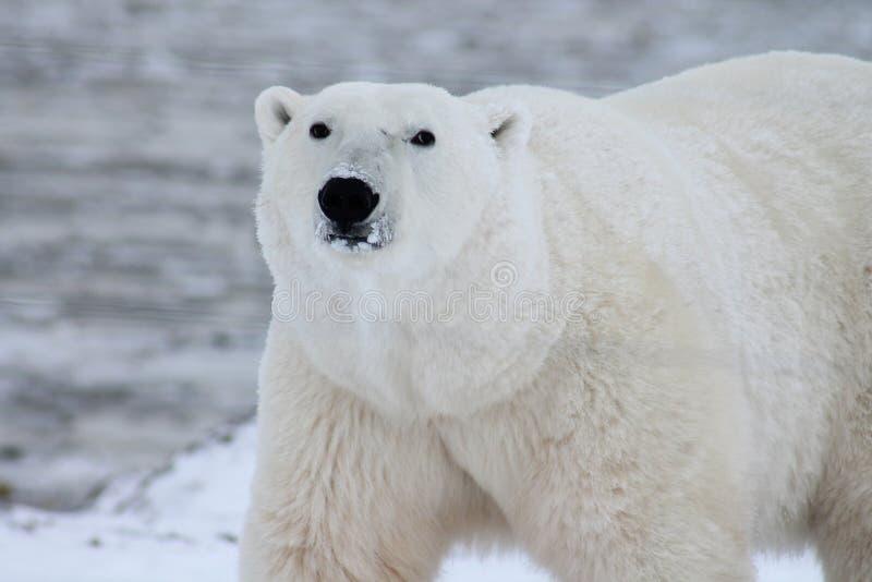 Close Photography of White Polar Bear royalty free stock photography