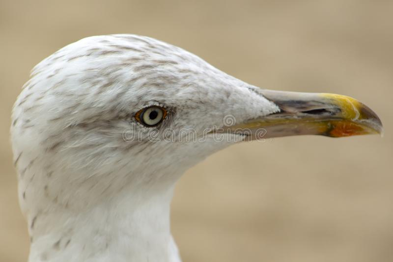 Close portrait of а Herring Seagull. Herring gulls to which the name is Mediterranean Griffon Gull. On the central beach in Varna, they are quite brave and stock image