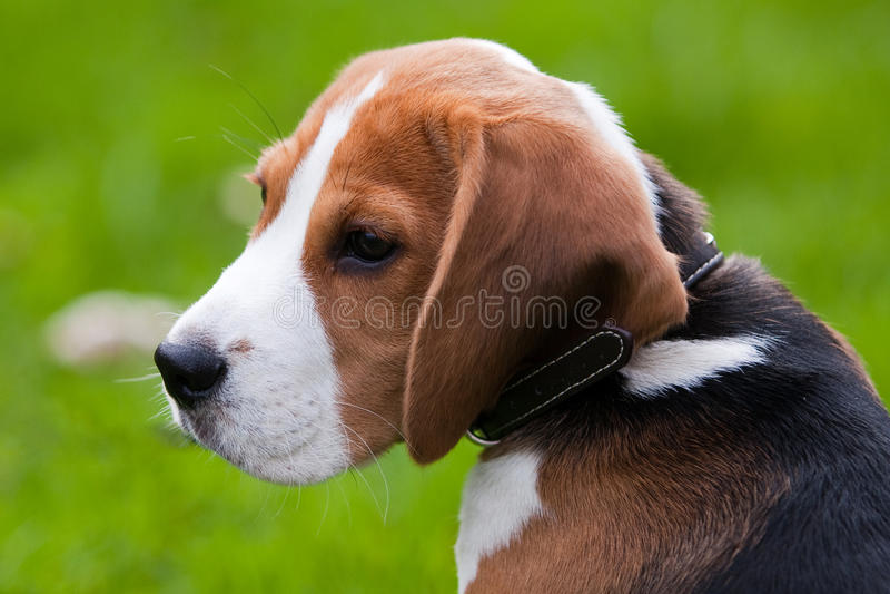 Close portrait of beagle stock image